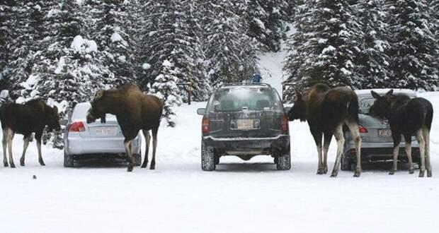Как в Канаде лосям запретили облизывать машины, и почему они продолжают это делать