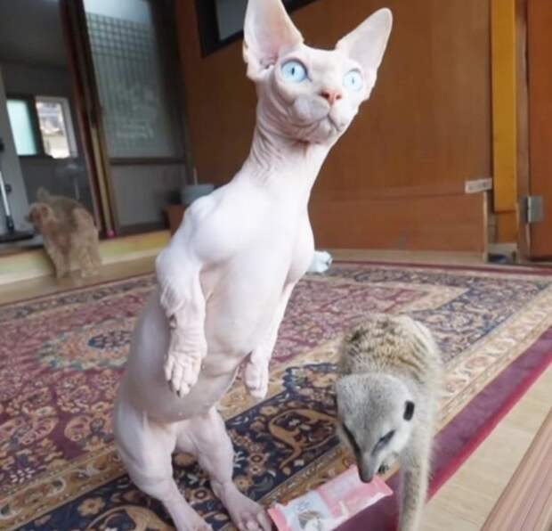 Хулиган сурикат Тимон научил сфинкса ходить на задних лапках