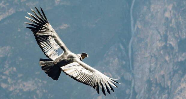 Андский кондор летал 5 часов безединого взмаха крыльев