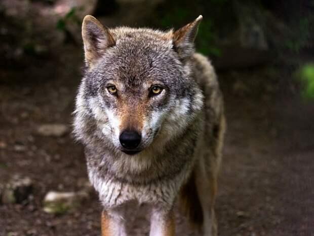 Депутат-единоросс поучаствовал в охоте со зверским издевательством над раненым волком
