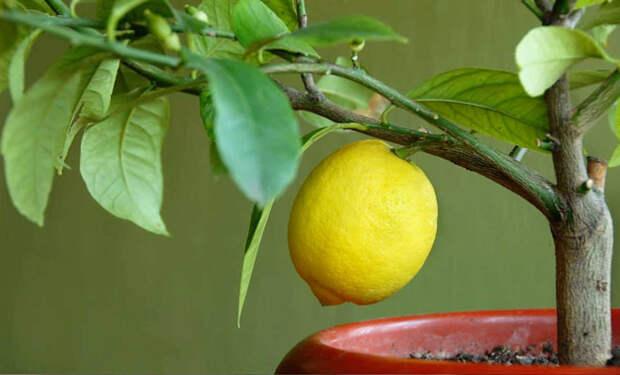 Выращиваем лимон из косточки дома. Через 2-3 года дома будет небольшое дерево