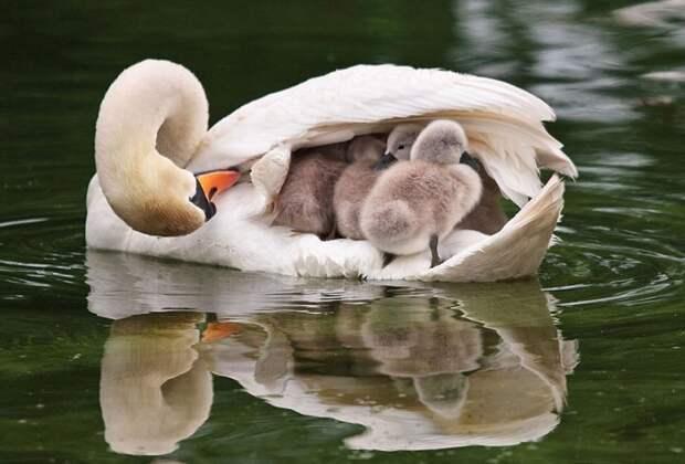 родители животные с их детенышами  лебедь