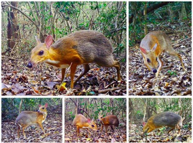 Зоологи заново обнаружили вьетнамских оленьков