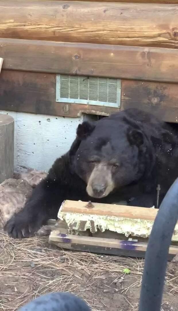 медведь во дворе