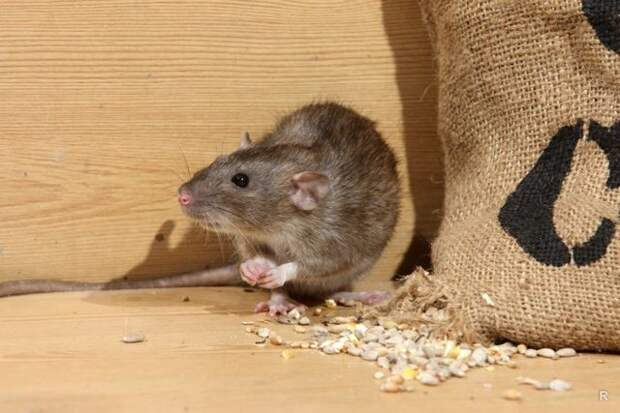 Запахи, которые на дух не переносят мыши, помогут отпугнуть их от дома