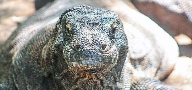 Дракона Комодо заметили путешествующим с черепахой на голове