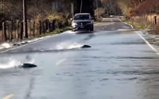 Мигрирующий лосось вызвал дорожный затор