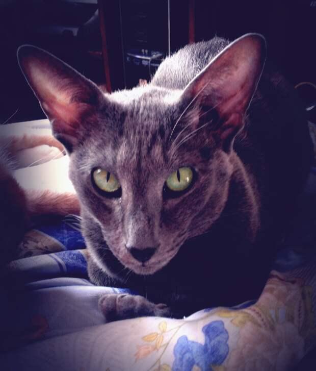 Сиамские и ориентальные кошки чаще всего страдают пикацизмом