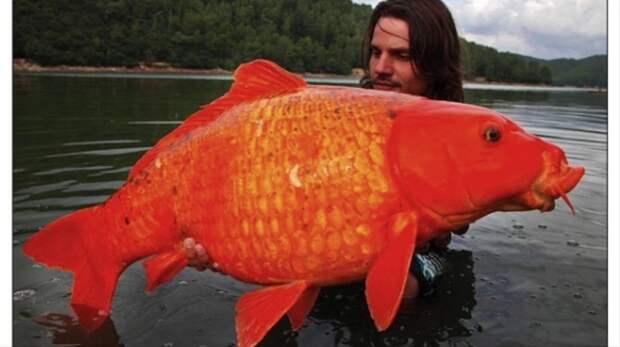 12. Гигантская золотая рыбка вид, вымысел, гигант, животные, мир, правда, природа, фото
