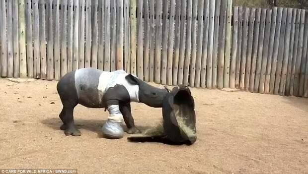 Маленький носорог жмется к маме, которую убили браконьеры