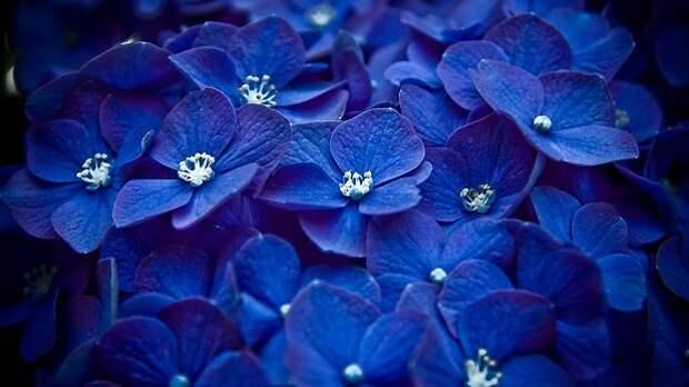 синие фиалки