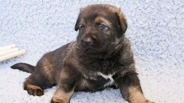 Первая клонированная в Китае полицейская собака готова приступить к тренировкам в мире, животные, китай, клон, наука, полиция, служба, собака