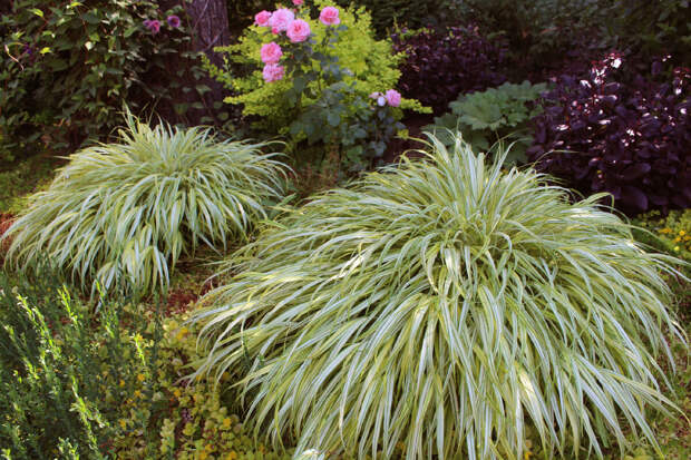 """Хаконехлои """"Aureola"""" в нашем саду в июле"""