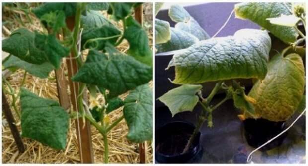 почему у растений скручиваются листья