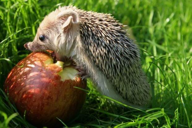 Еж ест яблоко