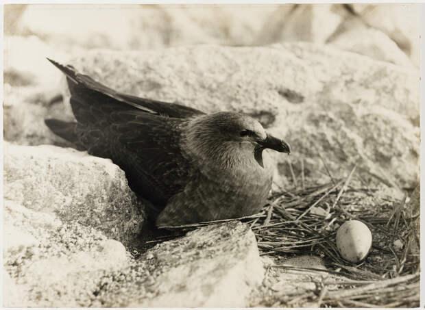 Первая Австралийская антарктическая экспедиция в фотографиях Фрэнка Хёрли 1911-1914 6
