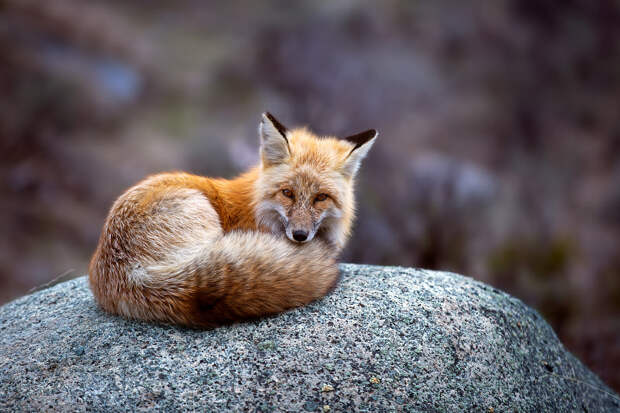 Red Fox by Jon Albert on 500px.com