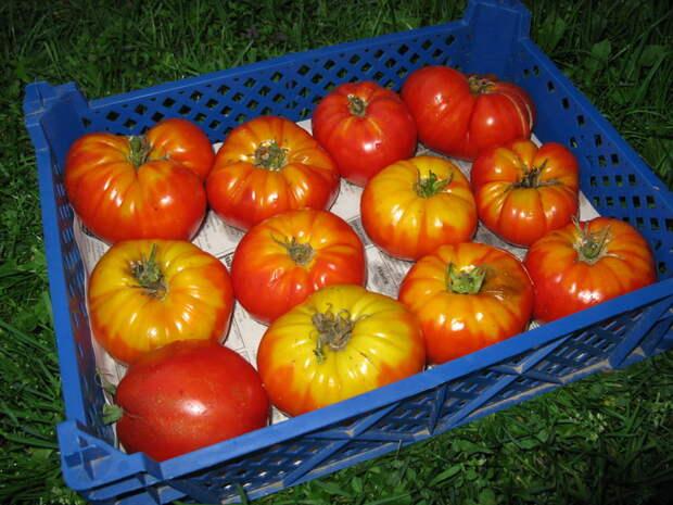 Как поступить с поздним урожаем томатов