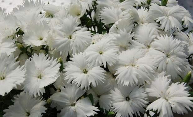 20 однолетников с белыми цветками – подойдут для любого стиля сада