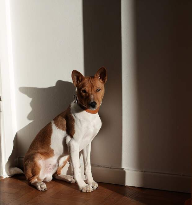 Басенджи - нелающая порода собак. Фото