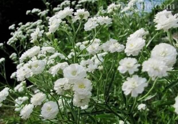 Метельчатые соцветия гипсофилы
