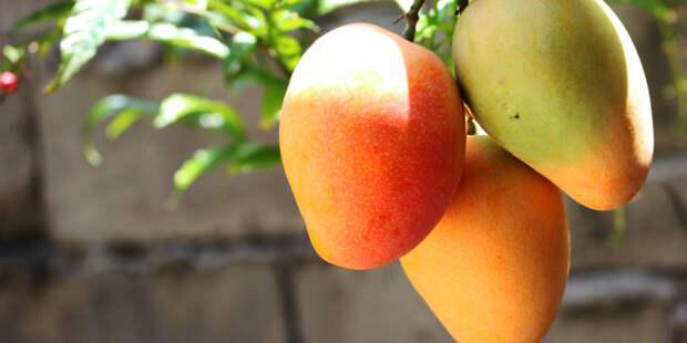 Индиец нанял охрану для самого дорогого манго в мире