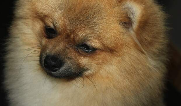 Уроженцу Тагила грозит до 2 лет тюрьмы за продажу несуществующего щенка винтернете