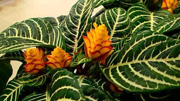 Афеландра – растение-зебра