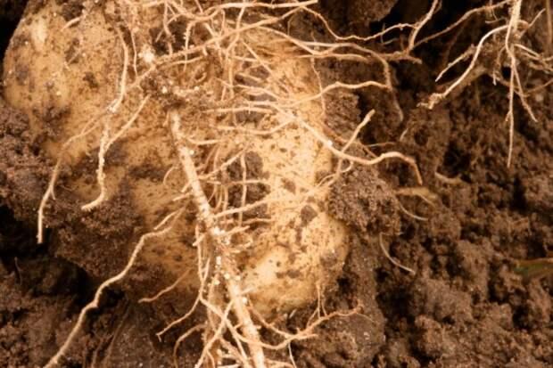 Картофельная нематода