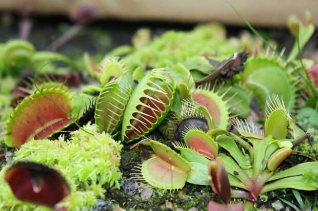 Как завести хищное растение на подоконнике, чтобы оно поедало комаров и мошек?