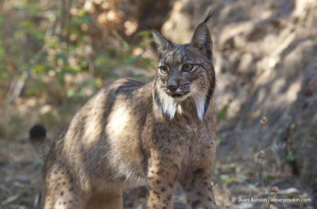 Пять самых редких диких кошек