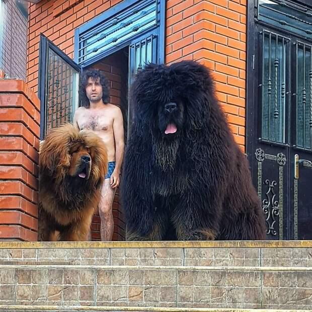 10 людей поделились фотками своих тибетских мастифов. Они размером с медведя
