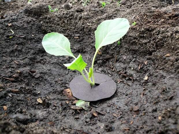 Агротехника цветной капусты - Статьи - Полезное - Кулинарные рецепты, диеты, меню, рецепты блюд. Smak.ua: Ты - кулинар!