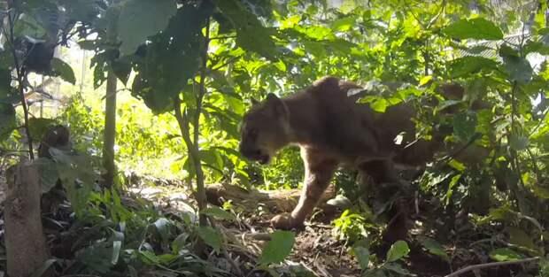 На видео - освобождение Муфасы на природу в 2015 году. Реакция хищника удивительна, и наводит грусть видео, дикая природа, животные, лев, освобождение, природа, фото, хищник