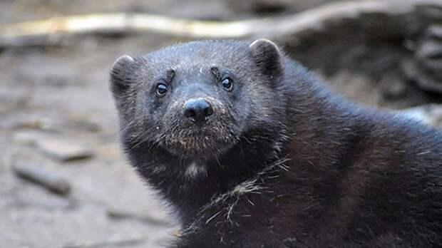 Пропавший в лесу Забайкалья мужчина мог подвергнуться нападению росомахи