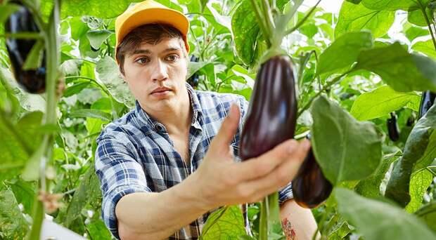 Уборка урожая баклажанов: 3 вопроса про баклажаны