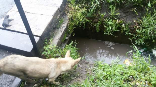 Собака отчаянно пыталась спасти своих крошечных щенков. Их затопило дождем и она звала на помощь