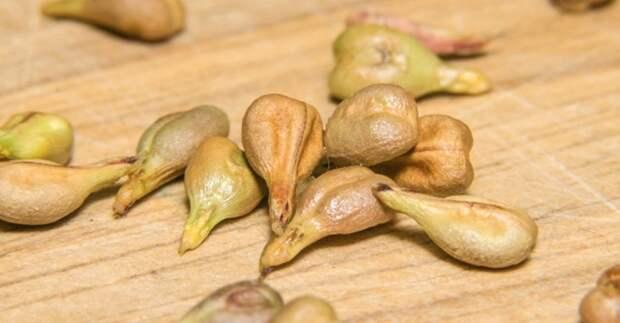 лечебные свойства косточек винограда