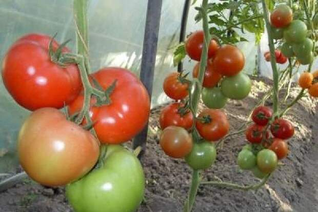 Картинки по запросу схема посадки томатов в теплице