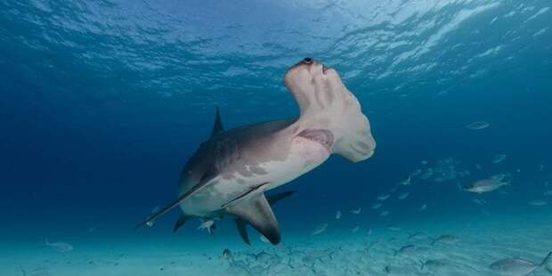 6. У акул не бывает раковых опухолей МИФ И ПРАВДА, животные, животный мир, интересные факты, миф, познавательно, факты о животных