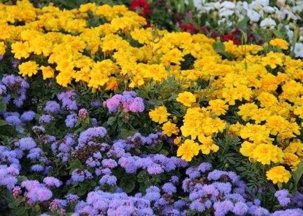 Агератум — универсальное растение.