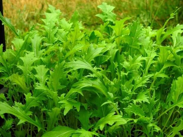 Мизуна, или «японская капуста» - еще одна экзотическая разновидность капусты