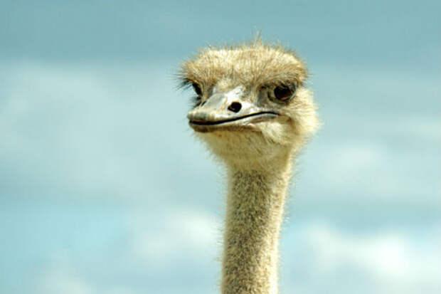 Турист разозлил страуса и ему пришлось убегать