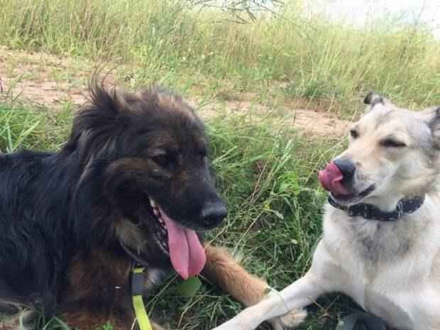 За 4 года жизни в отлове этот большой пес исхудал и стал больным отлов, пес, собака
