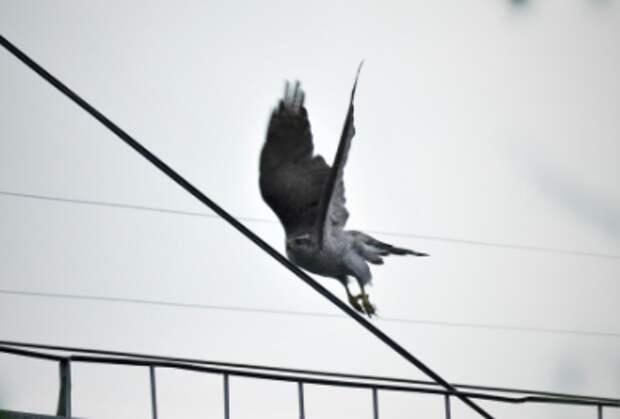 Хищный ястреб переселился из шумного аэропорта в тихий район Выхино-Жулебино