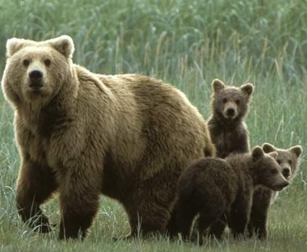 Скрипач прогнал медведей