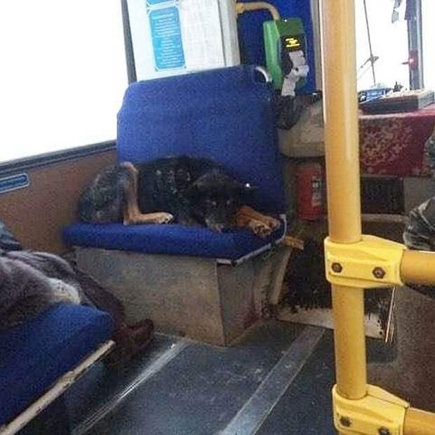 "Собака в автобусе. Фото: ""Новости Якутии"" (t.me/ykt_novosty)"