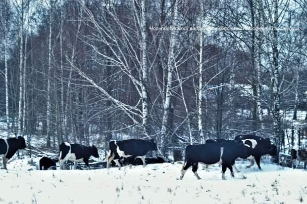 Поведение стада одичавших коров Чернобыльской зоны отчуждения, сильно отличается от того, что можно наблюдать у домашних животных