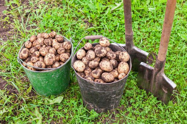 Выращиваем картофель по методу Балабанова: в чем суть?