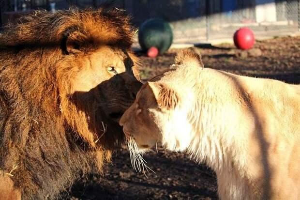 Львы стоят